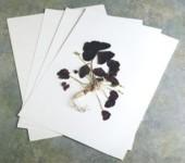 Papir za herbarij, puferirani, 100% pamuk