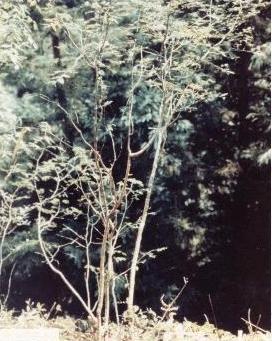 Gampi drvo