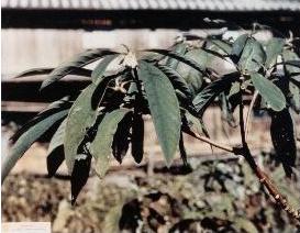Mitsumata drvo